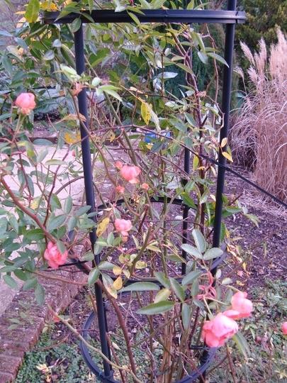 DSC02695 480x640 Climbing rose.