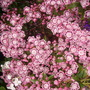 mountain laurel (Kalmia latifolia (Calico bush))