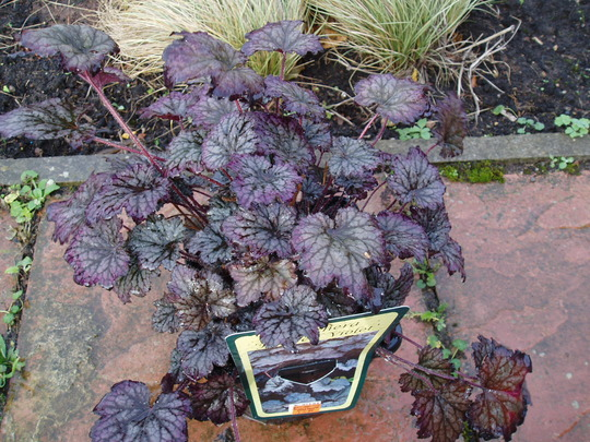 Heuchera 'Frosted Violet' for Paul :-)