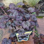 Heuchera 'Frosted Violet' for Paul :-) (heuchera)