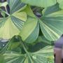 Ginkgo biloba 'Majestic Butterfly'