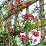 39_red._chaenomeles._front_2.1.12.