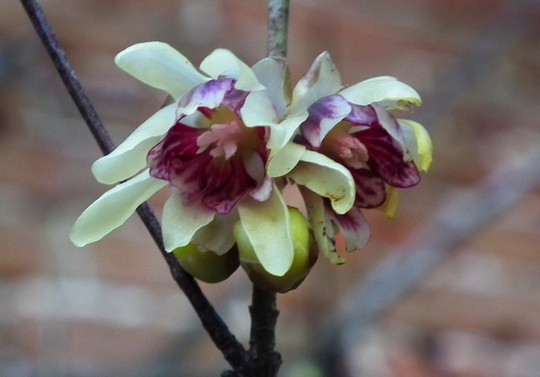 Chimonanthus praecox (Chimonanthus praecox)