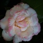 Camellia_japonica_margaret_davis_flower_
