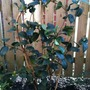 Camellia_japonica_margaret_davis_climbing_