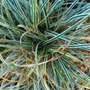 Carex 'Everest' (Carex 'Everest')