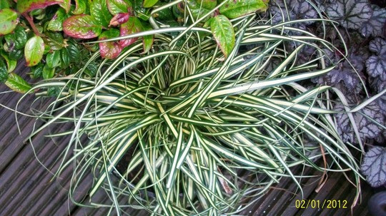 Carex Evergold (Carex 'Evergold')