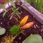 my lily buds