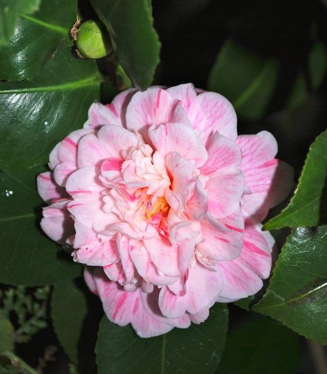 Camellia flowering...... (Camellia japonica (Camellia)?)