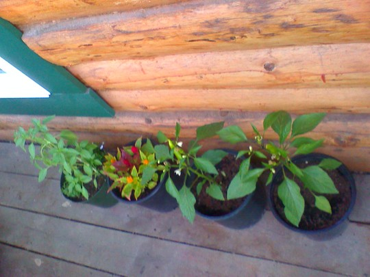 celosia peppers and basil