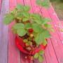 Strawberry_061808