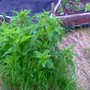 Wild_rhubarb_061408