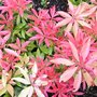 Pieris japonica