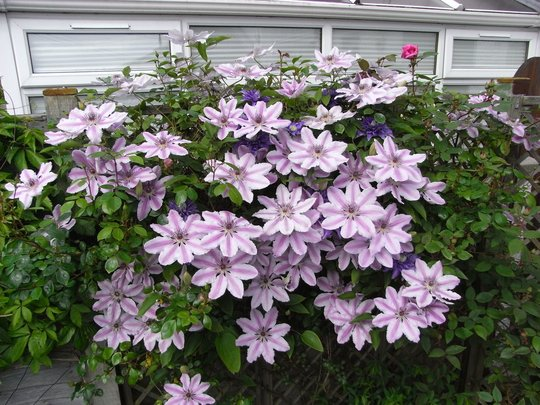 A profusion of clematis