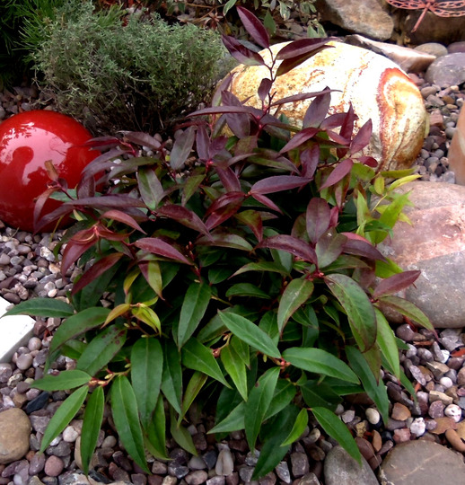 "Plant of the day - Leucothoe ""royal ruby""  (Leucothoe ""royal ruby)"