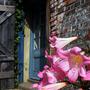 Amaryllis belladonna (Belladonna lily)
