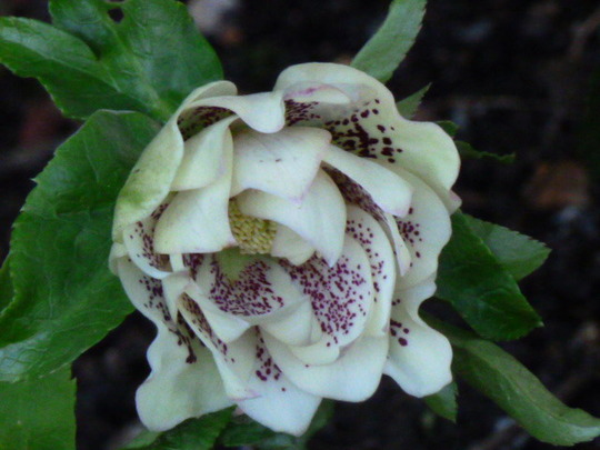Helleborus ' Double Queen '   mixed