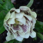 Helleborus_double_queen_