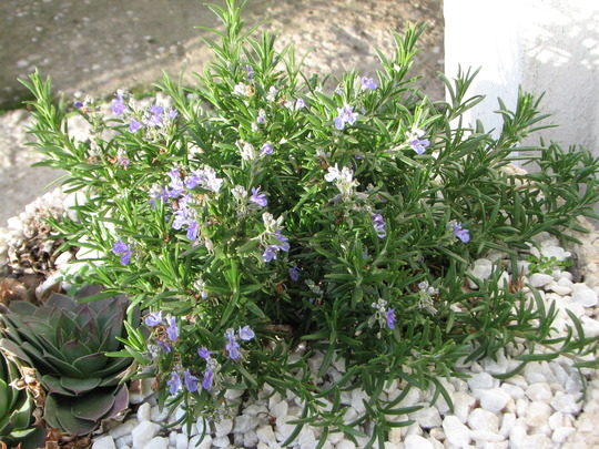Rosemary from Corsica blooms in January