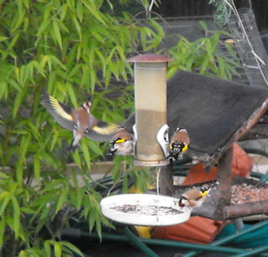 goldfinches 013