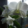 Dendrobium_close