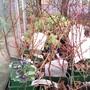 Lonicera caerulea (Honeyberry)