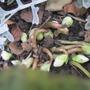 Hellebore are just budding up..... (Helleborus niger (Christmas rose))