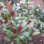 Skimmia japonica (Skimmia)