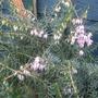 Heather flowering...... (heather)