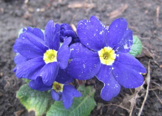 Blue Primrose