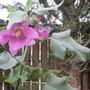 Lavatera has flowers on still.....