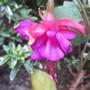 Fuchsia flowering still.