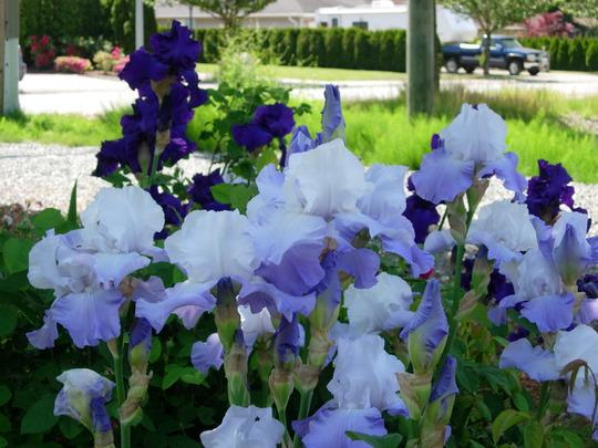 Iris (iris)