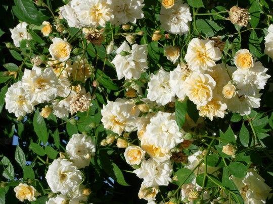 rose Alister Stella Gray (rosa)