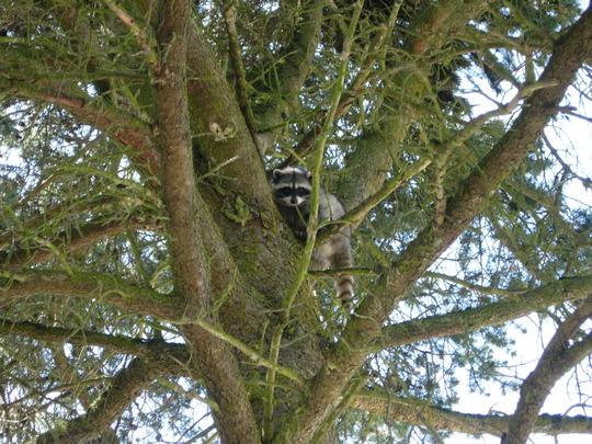 Raccoon in pine tree