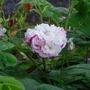 rose Leda (rosa)