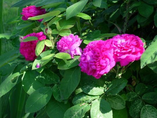 Rose de Rescht (Rosa)