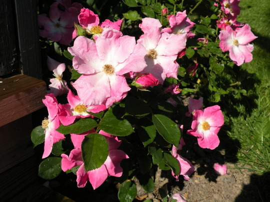 rose Nearly Wild (rosa)