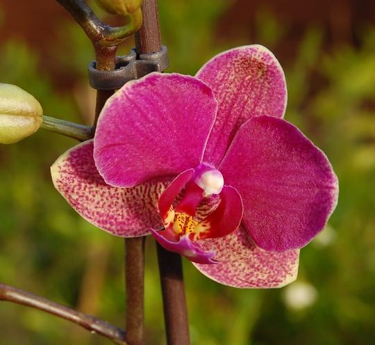 Phalaenopsis rebloom (Orchid)