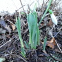 2012-01-09 First Snowdrop