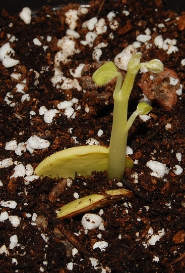 Bauhinia variegata (Bauhinia variegata (Dagh Abanosi))