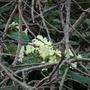 Primrose in January