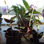 jewel and cattleya orchids Jan 11 (Ludisia discolor)