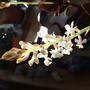 jewel orchid bloom Jan 11