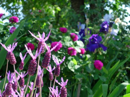 French Lavender (Lavandula stoechas (French lavender))