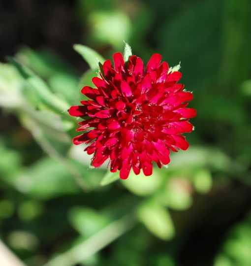Knautia....... (Knautia macedonica)