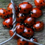 Ladybirds_jan_2012