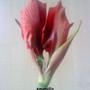 Amaryllis 1st flower of 2012 (Close up) 09-01-2012 002 (Amaryllis)