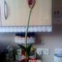 Amaryllis 1st flower of 2012 09-01-2012 001 (Amaryllis)