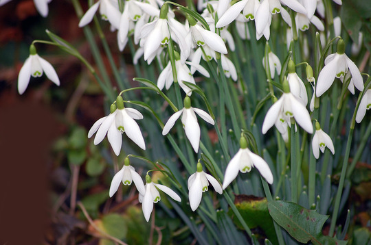 First Snowdrops of 2012!